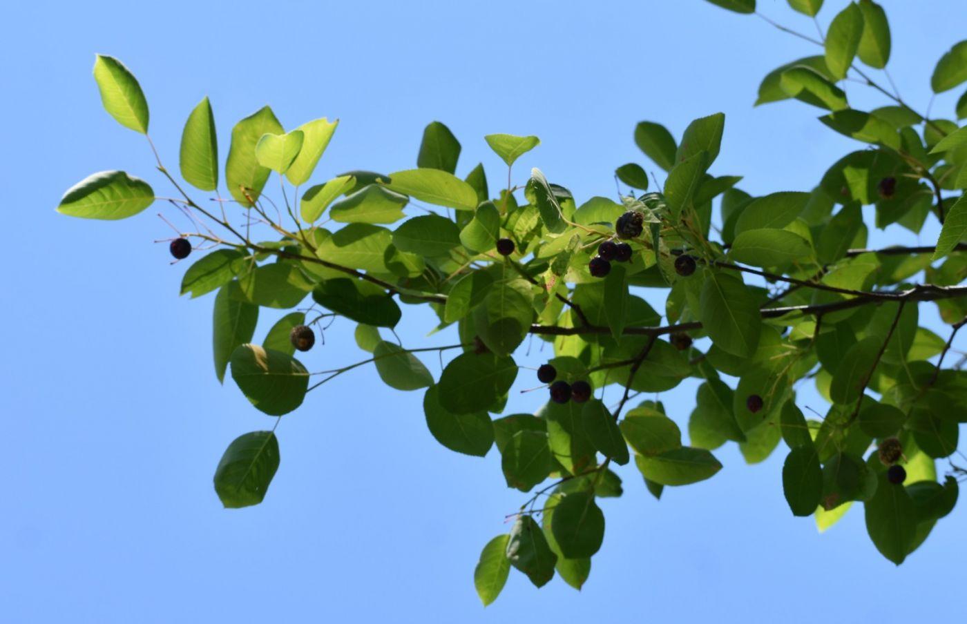 花楸树的果实_图1-20