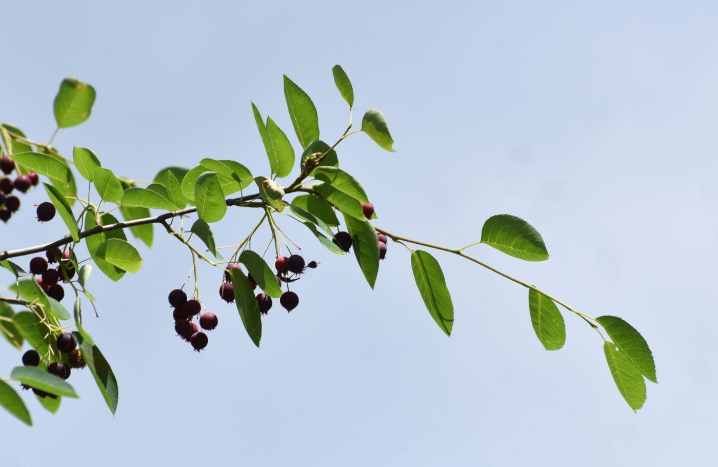 花楸树的果实_图1-22