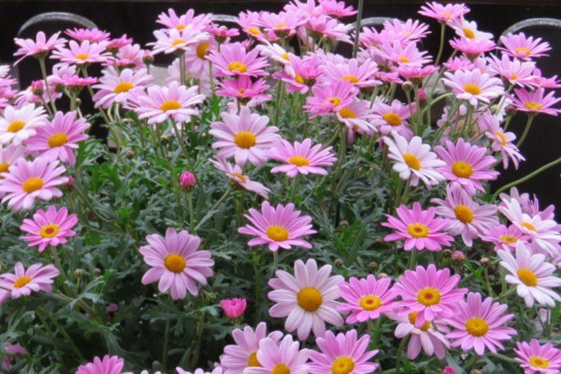 花卉日记-59_图1-19