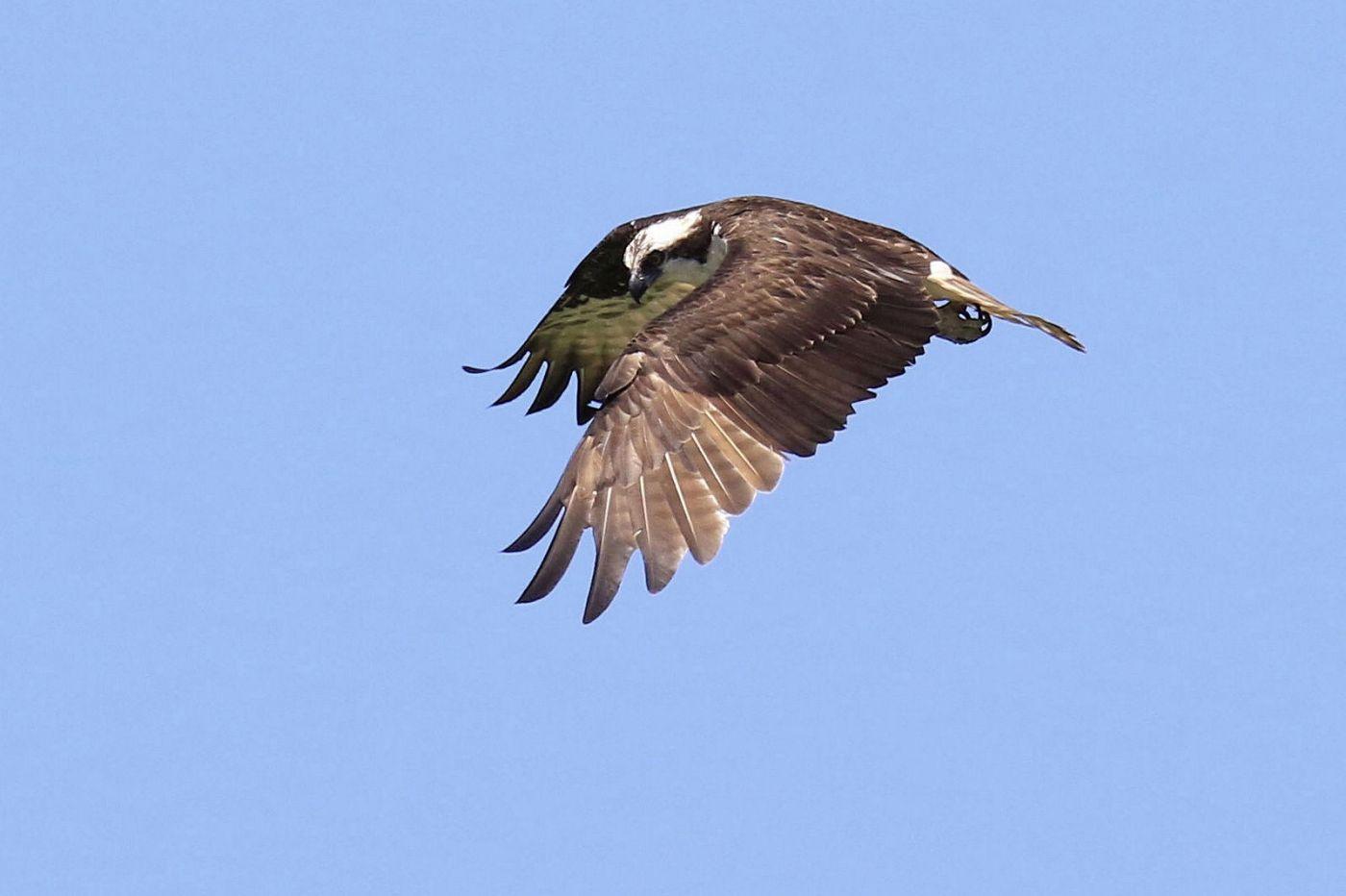 鹗鸟飞姿_图1-5