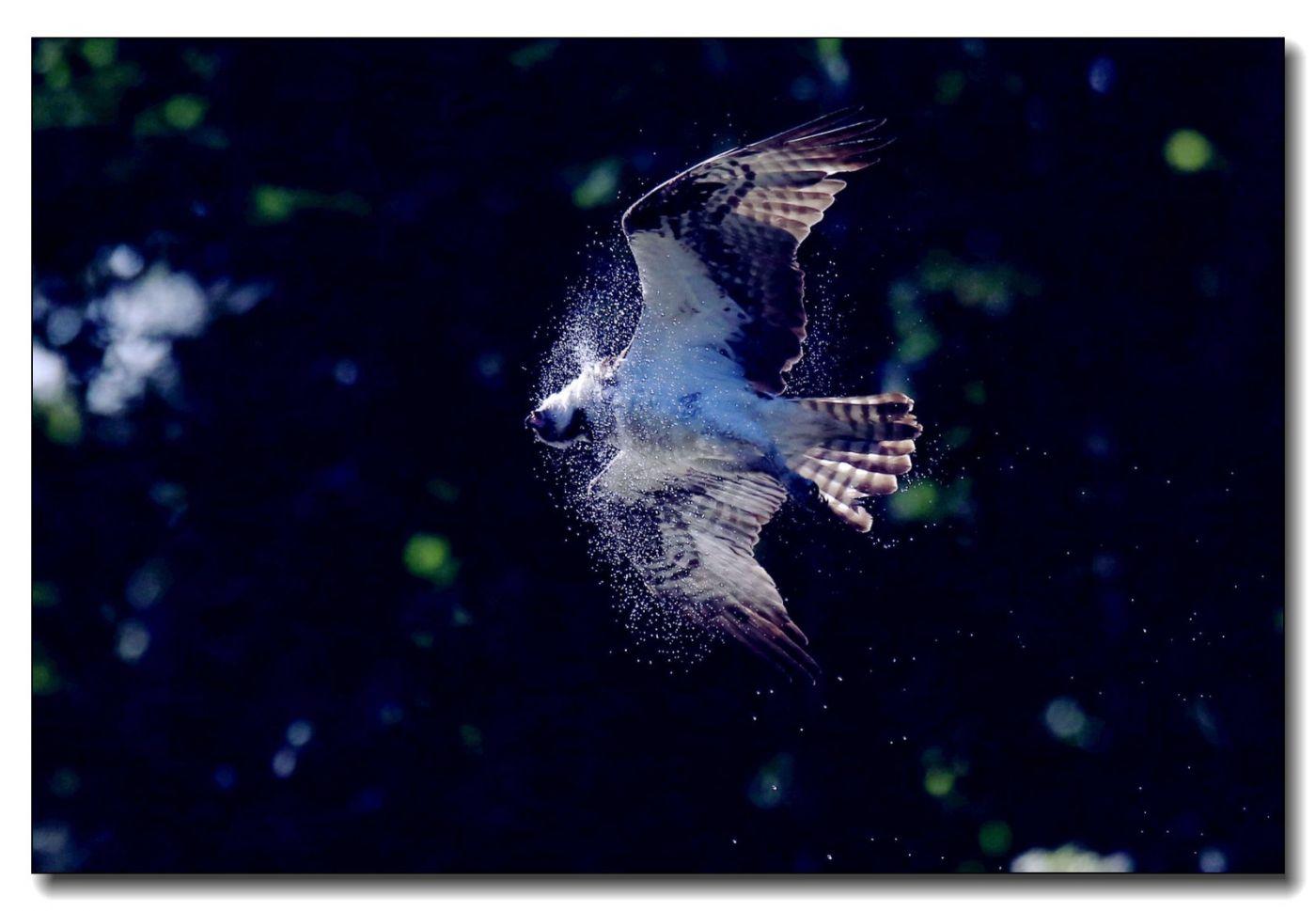 鹗鸟飞姿_图1-16