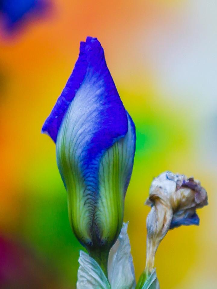 鸢尾花,翩翩起舞_图1-8