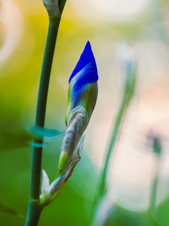 鸢尾花,翩翩起舞_图1-4