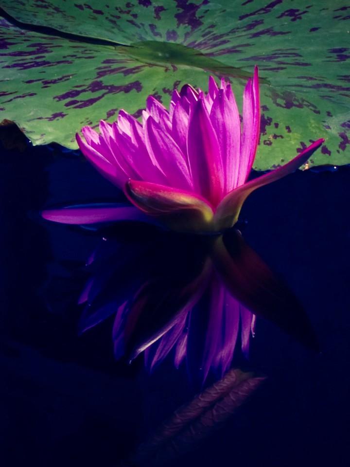 莲花,水上芭蕾_图1-16