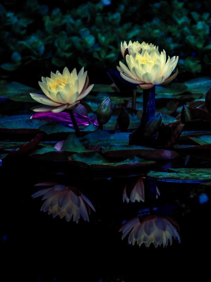 莲花,水上芭蕾_图1-5