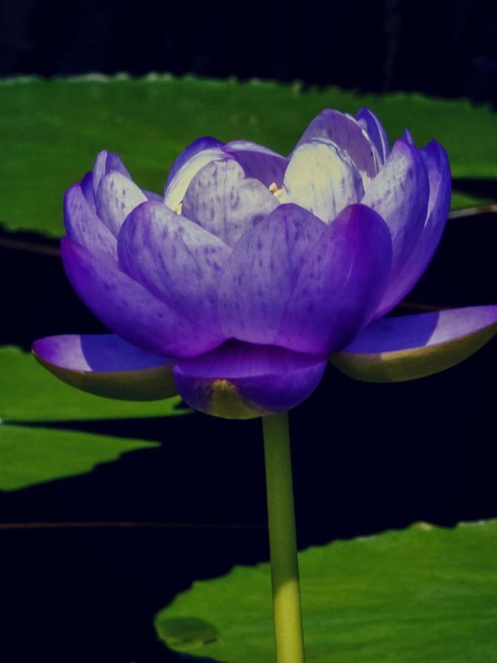 莲花,水上芭蕾_图1-10