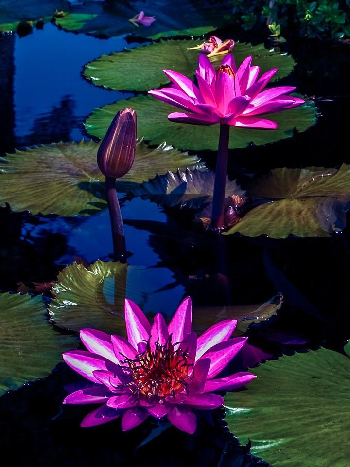 莲花,水上芭蕾_图1-12