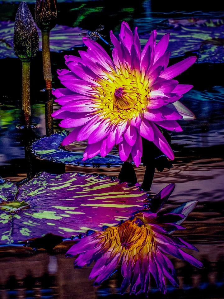 莲花,水上芭蕾_图1-2