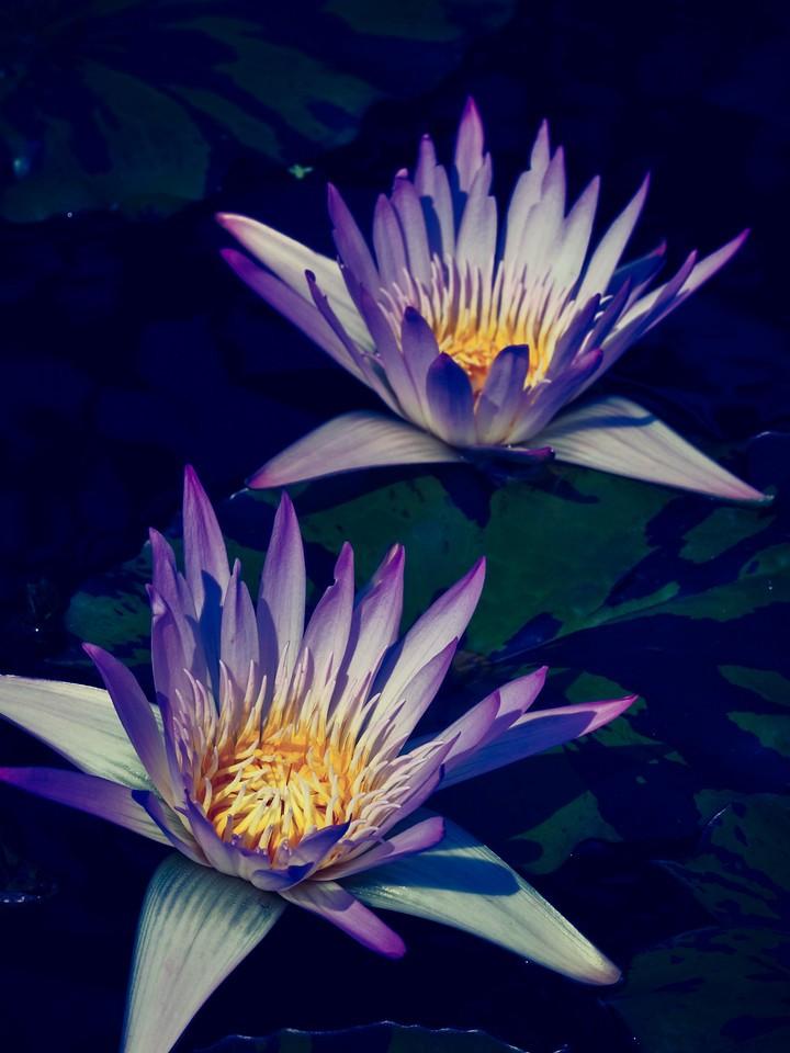 莲花,水上芭蕾_图1-3