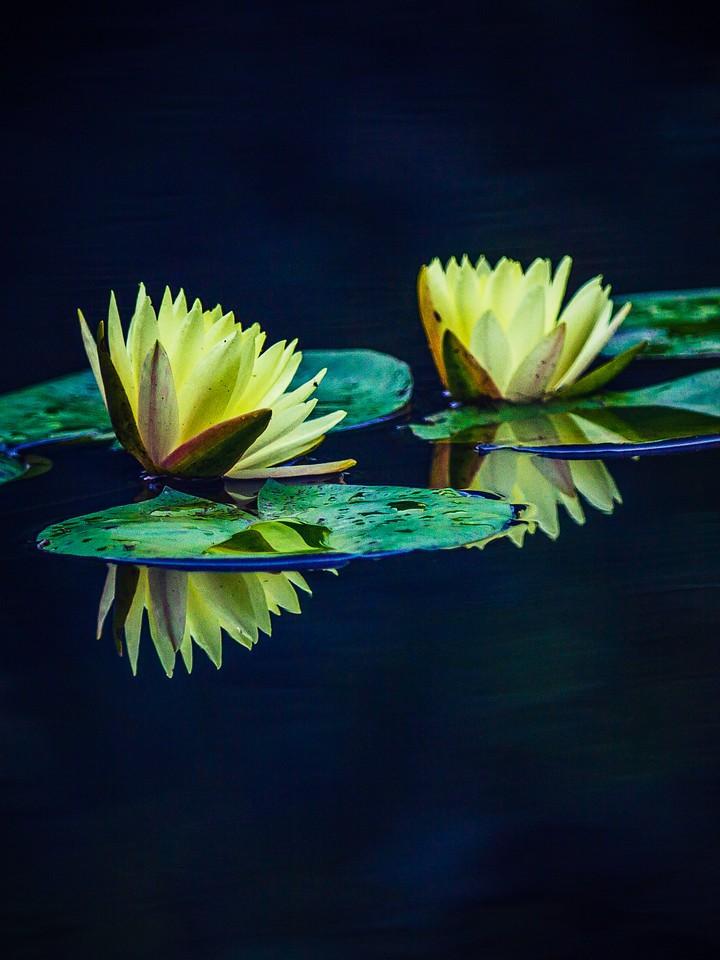 莲花,水上芭蕾_图1-7