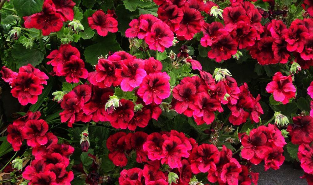 花卉日记-71_图1-11