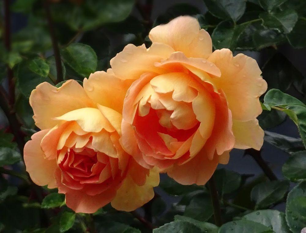 花卉日记-71_图1-22