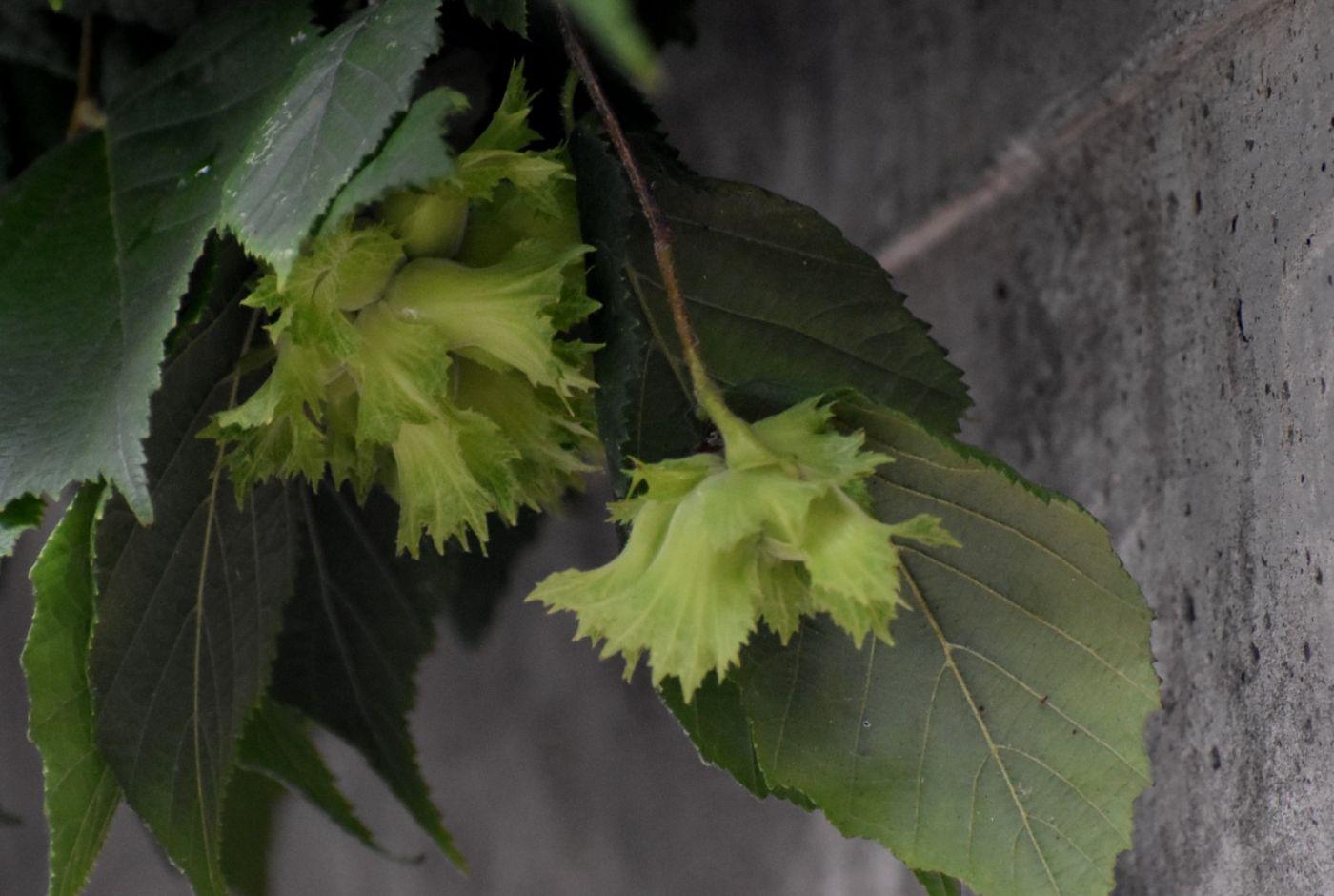 美洲榛子树开花_图1-14