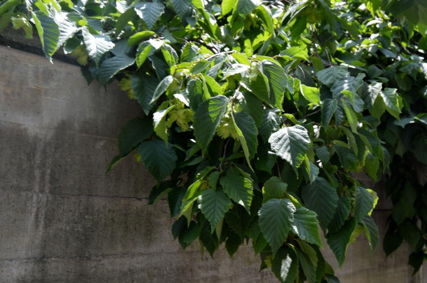美洲榛子树开花_图1-21