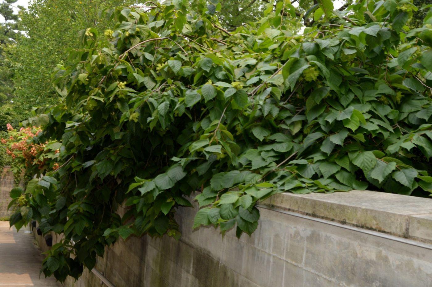 美洲榛子树开花_图1-22