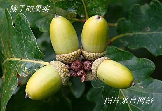 美洲榛子树开花_图1-23