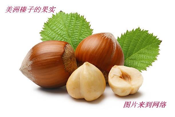 美洲榛子树开花_图1-24