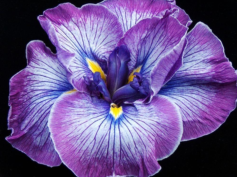 戴安娜福特花园之鸢尾花-2_图1-5