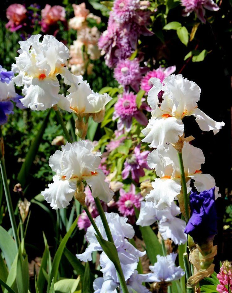 戴安娜福特花园之鸢尾花-2_图1-7