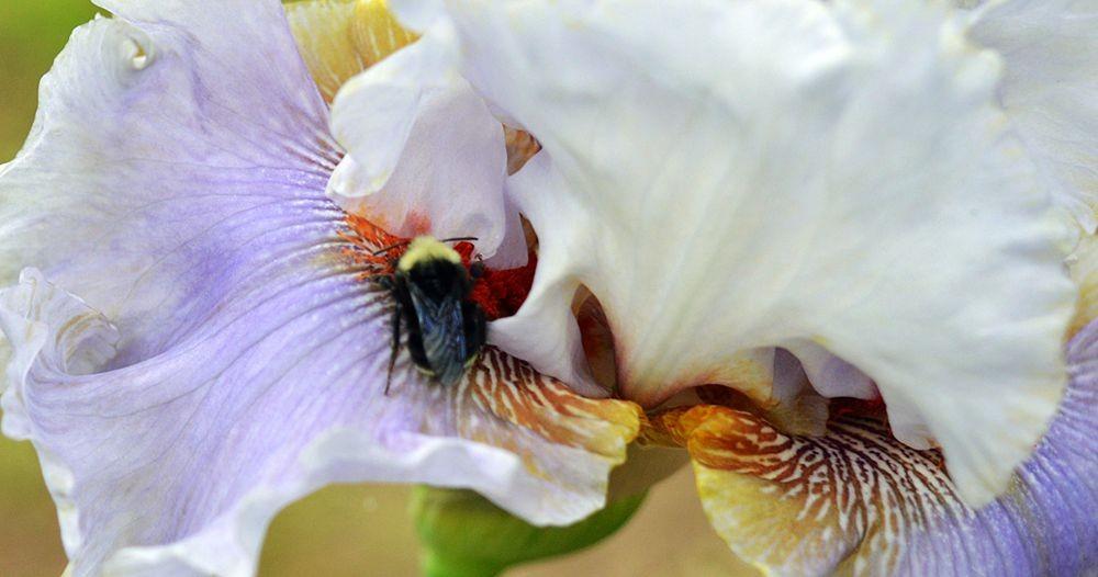 戴安娜福特花园之鸢尾花-2_图1-12