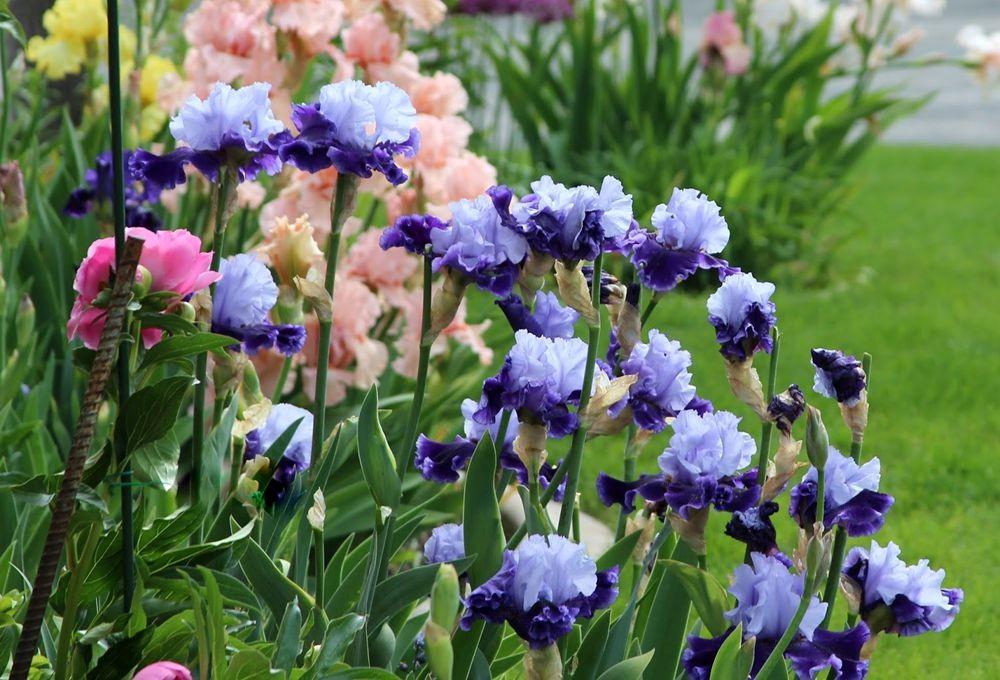 戴安娜福特花园之鸢尾花-2_图1-17