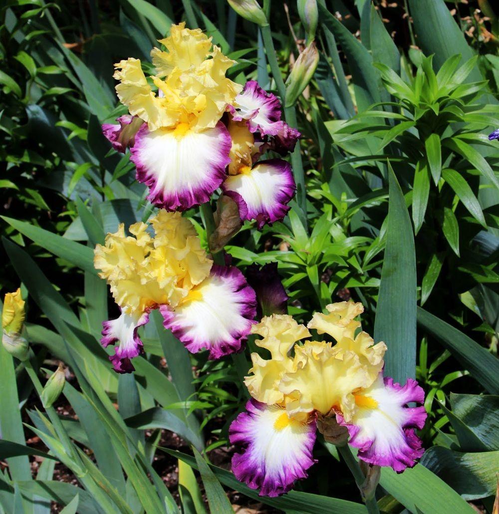 戴安娜福特花园之鸢尾花-2_图1-19