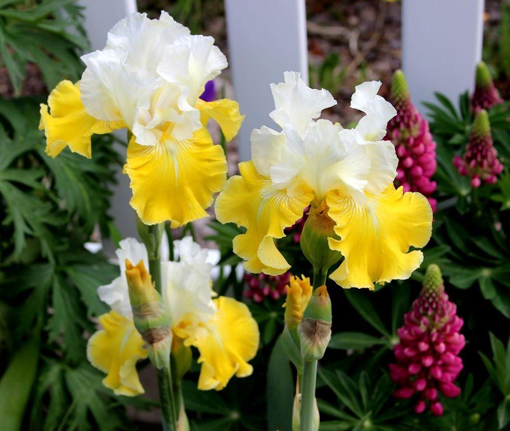 戴安娜福特花园之鸢尾花-2_图1-20