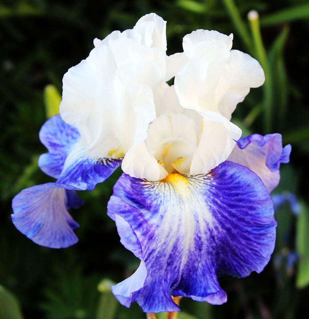 戴安娜福特花园之鸢尾花-2_图1-21