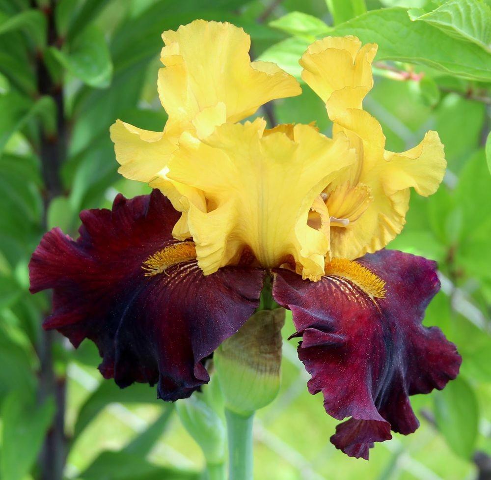 戴安娜福特花园之鸢尾花-2_图1-22