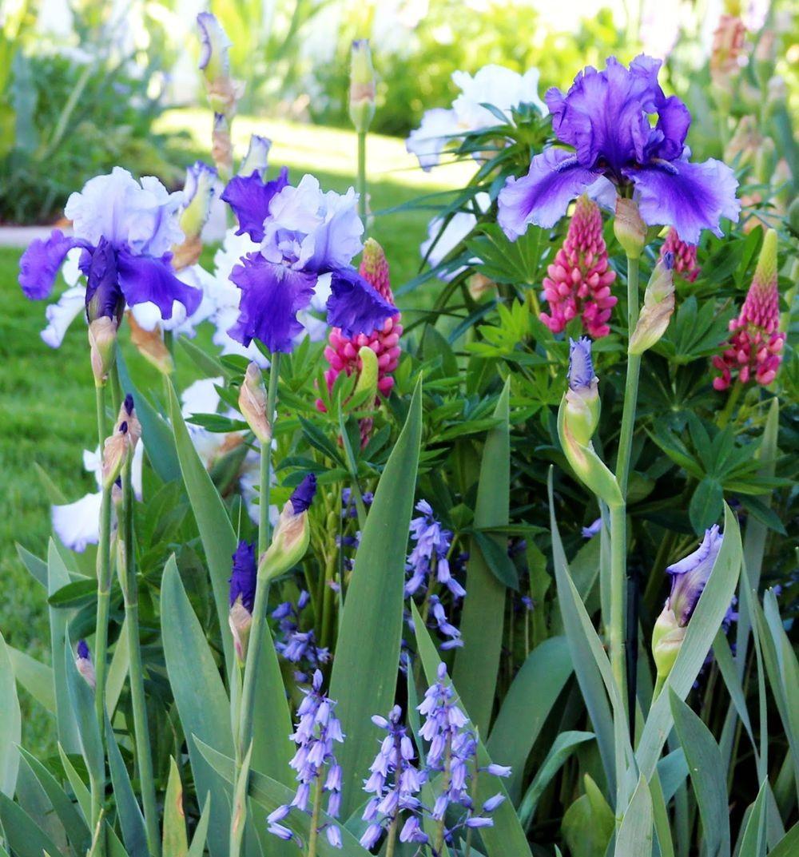 戴安娜福特花园之鸢尾花-2_图1-23