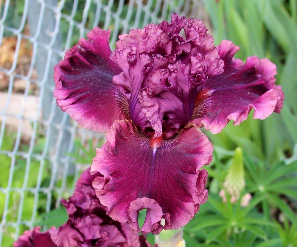 戴安娜福特花园之鸢尾花-2_图1-24
