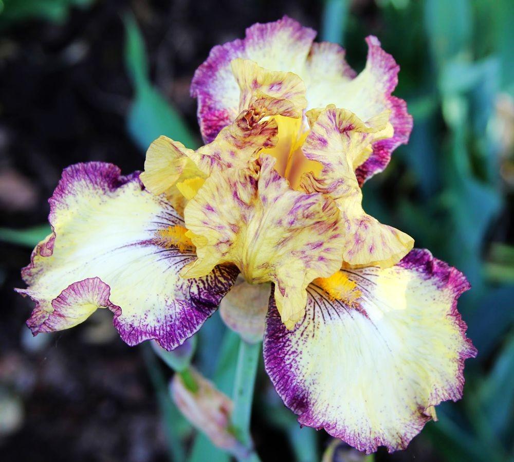 戴安娜福特花园之鸢尾花-2_图1-27