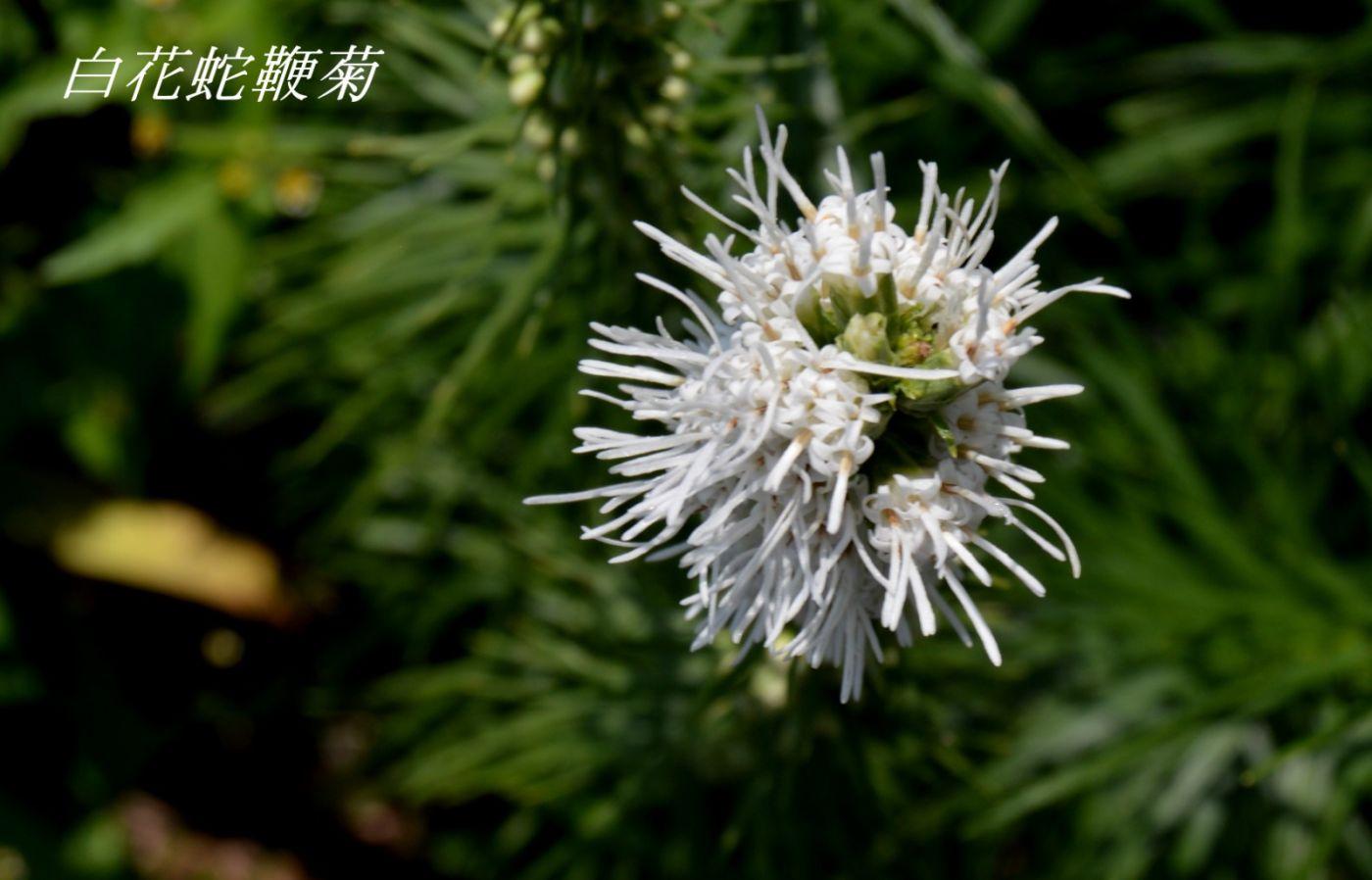 麒麟菊_图1-10