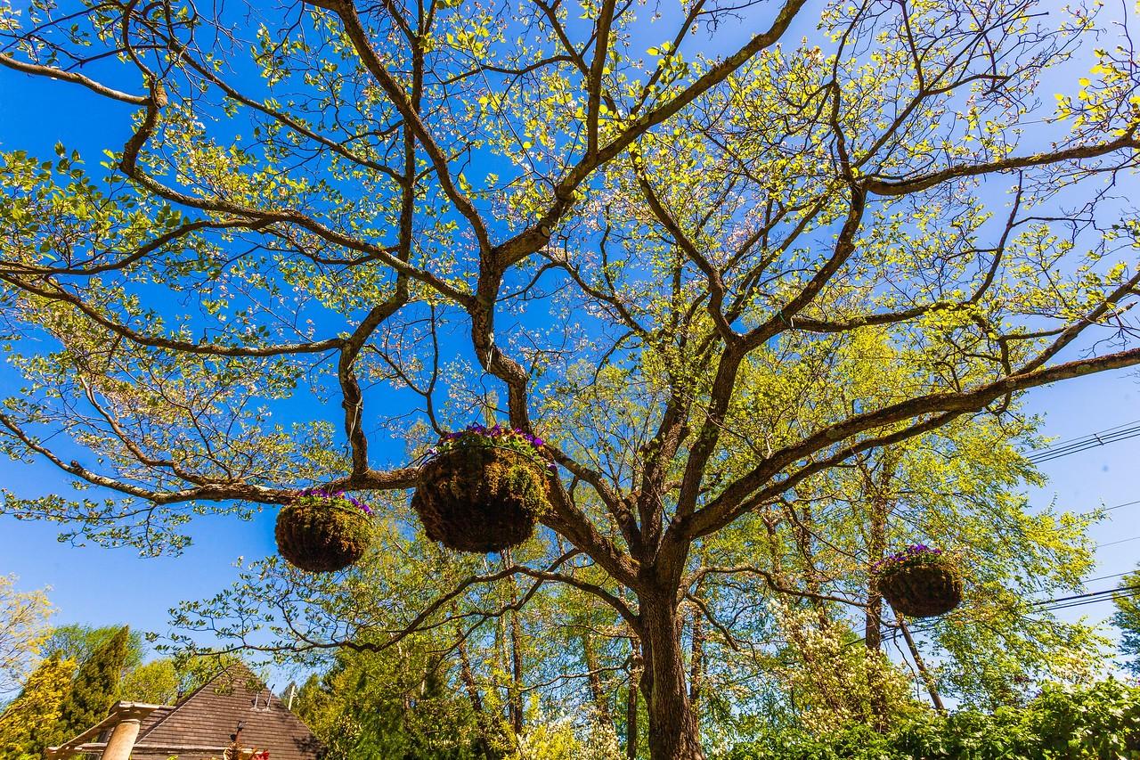 Chanticleer花园,树上盆景_图1-1