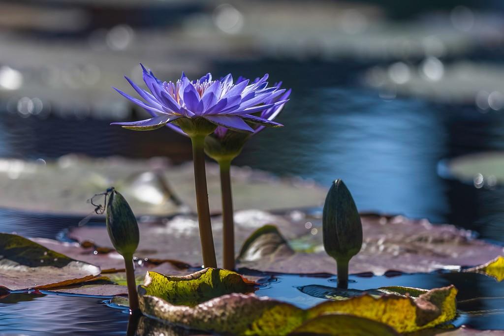 莲花,水上倒影_图1-8