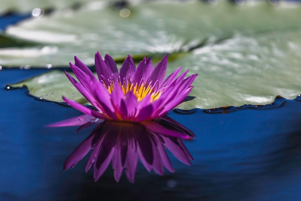 莲花,水上倒影_图1-6