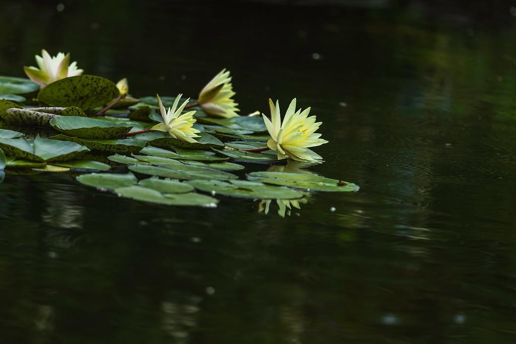 莲花,水上倒影_图1-7