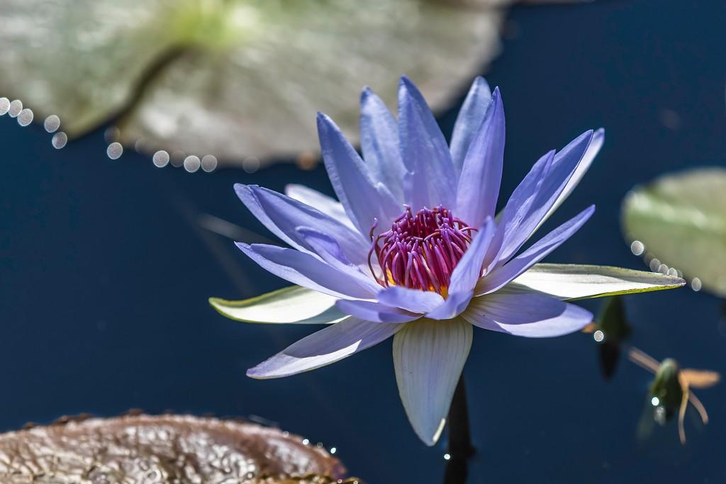 莲花,水上倒影_图1-2