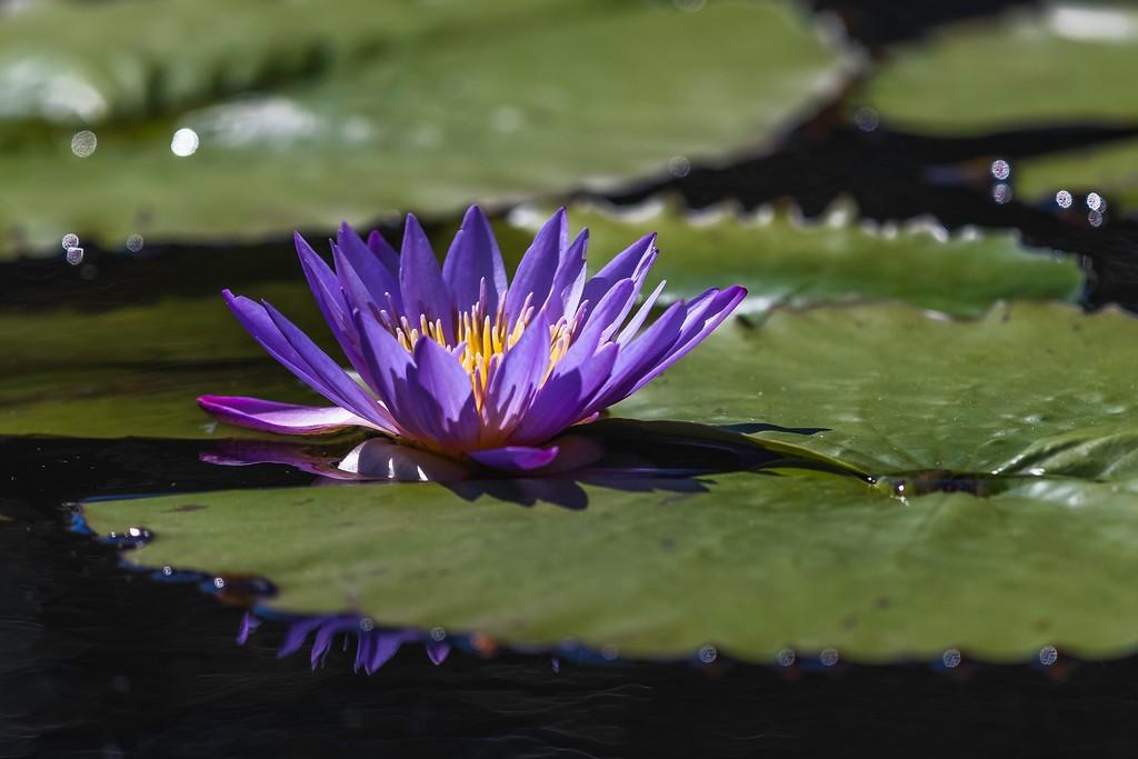 莲花,水上倒影_图1-4