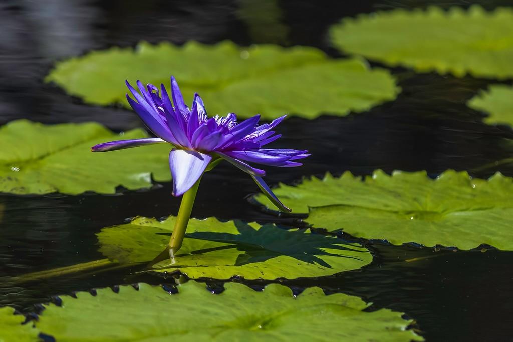 莲花,水上倒影_图1-9