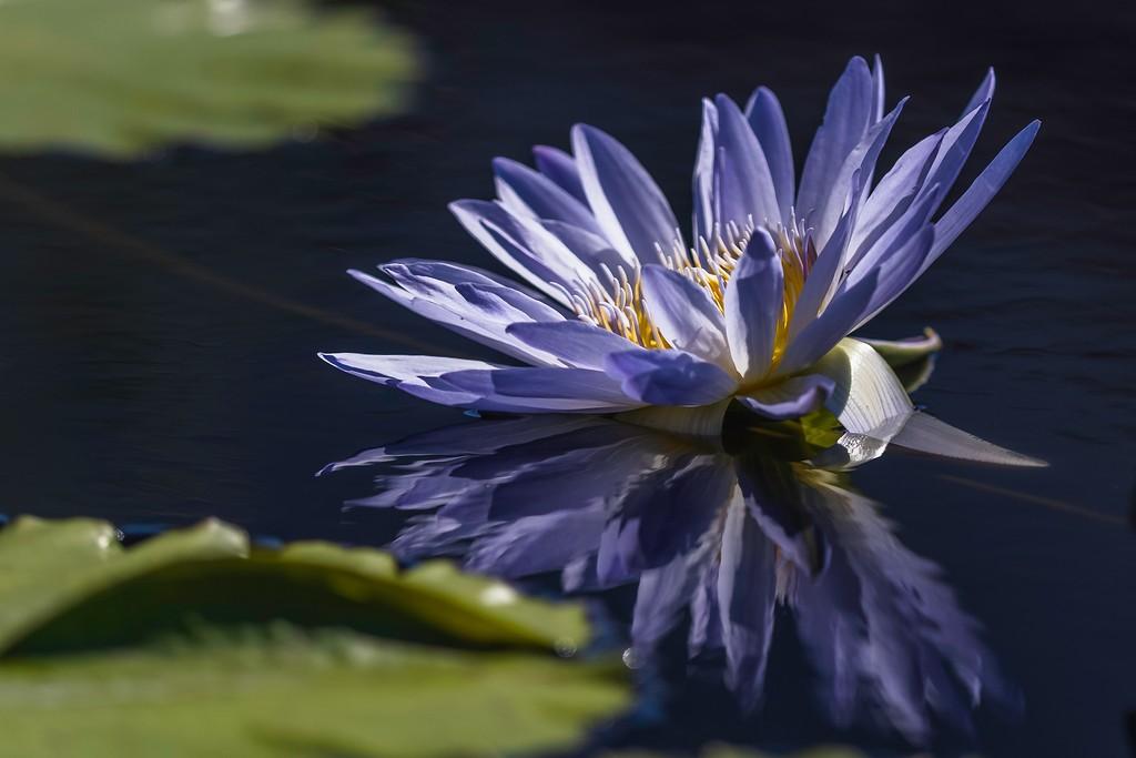 莲花,水上倒影_图1-10