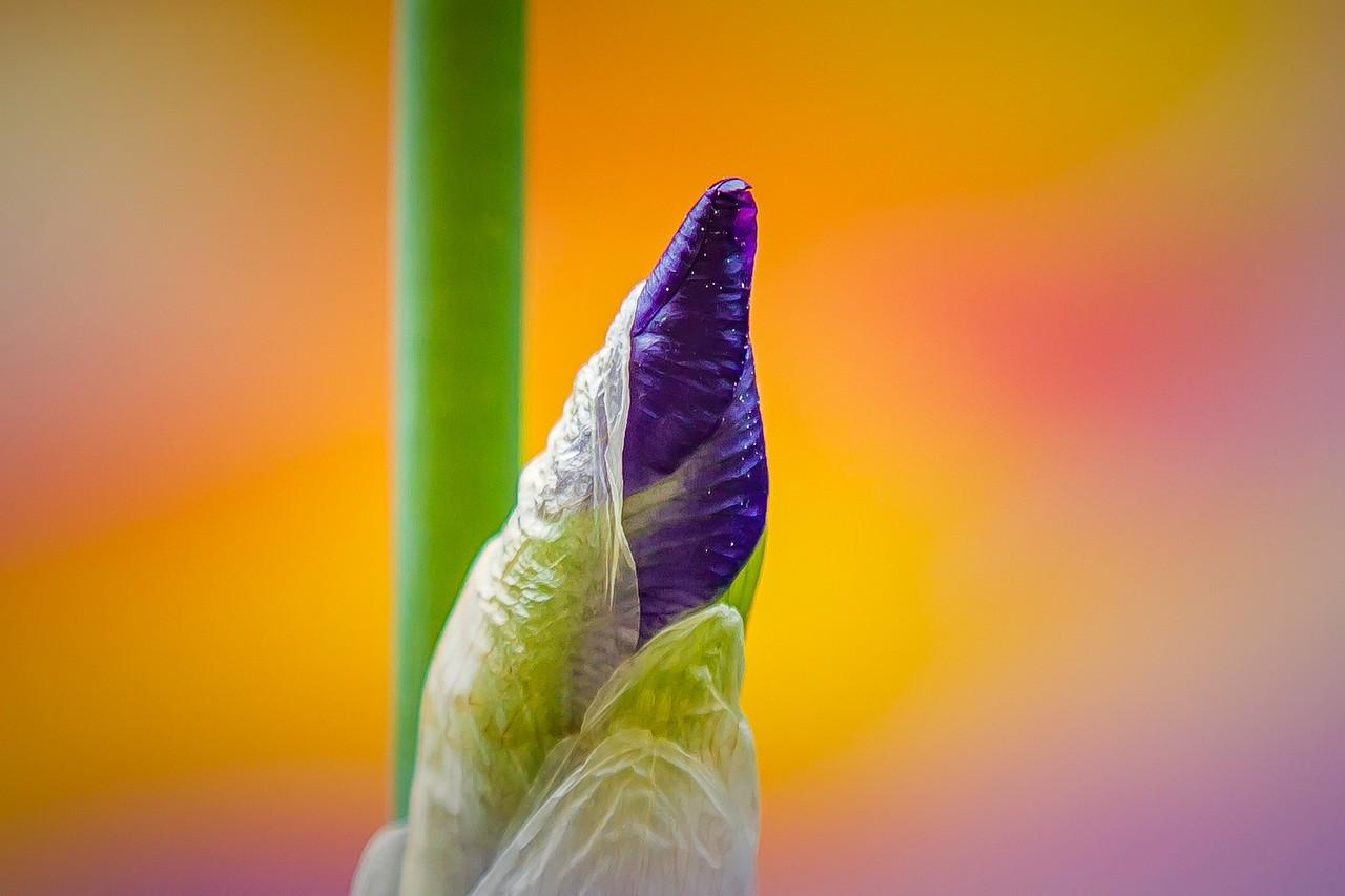鸢尾花,妩媚艳丽_图1-14