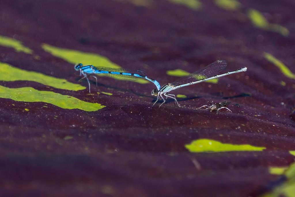 小蜻蜓,苗条轻盈_图1-1