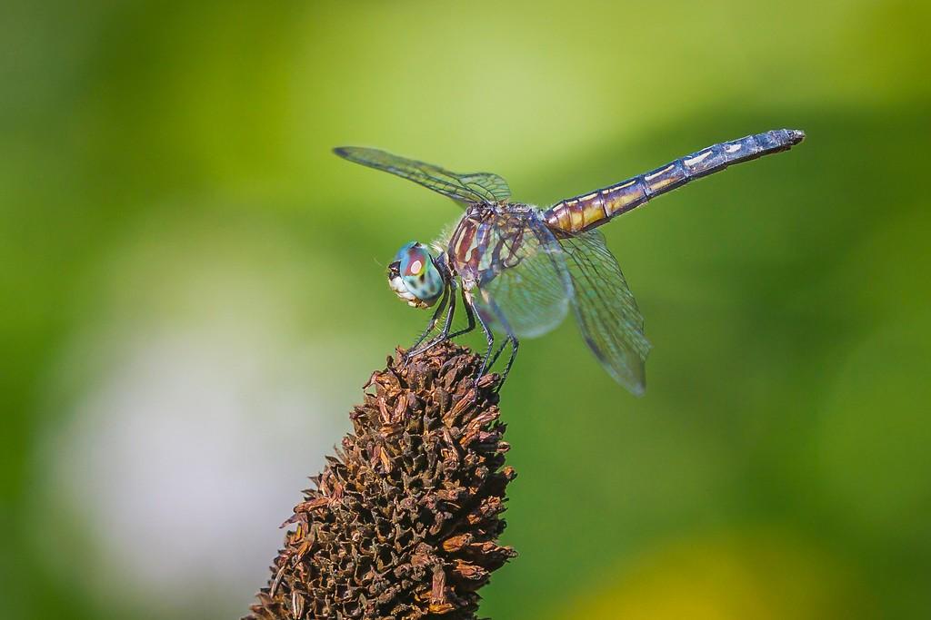 小蜻蜓,苗条轻盈_图1-4