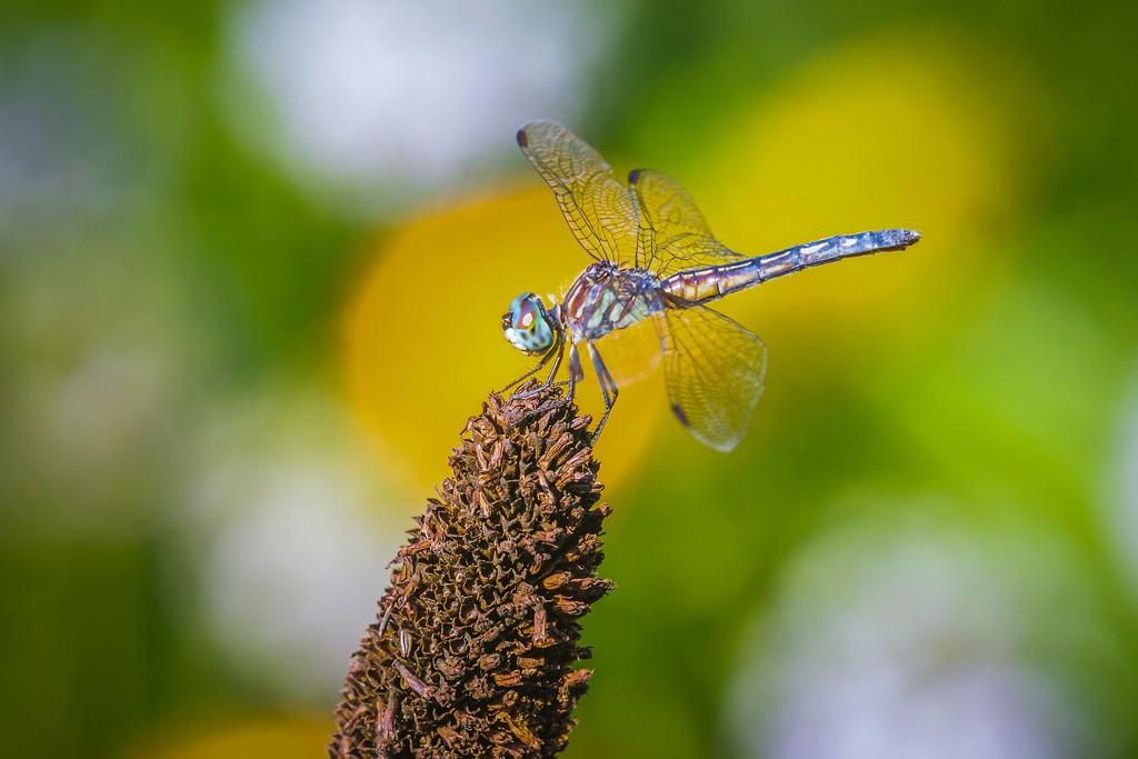 小蜻蜓,苗条轻盈_图1-9