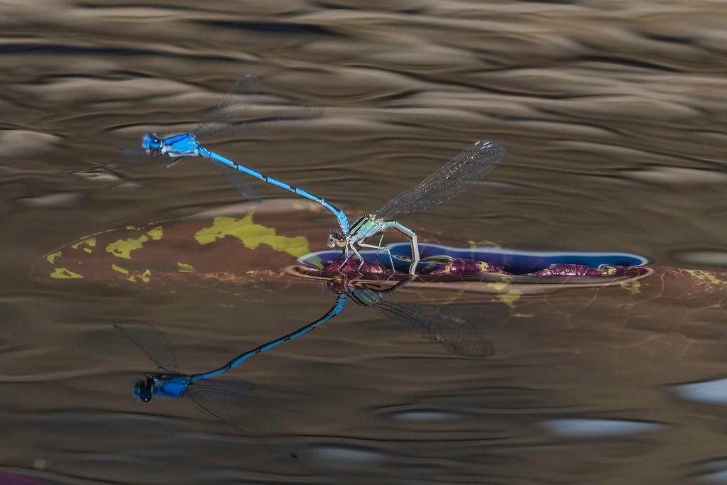 小蜻蜓,苗条轻盈_图1-3