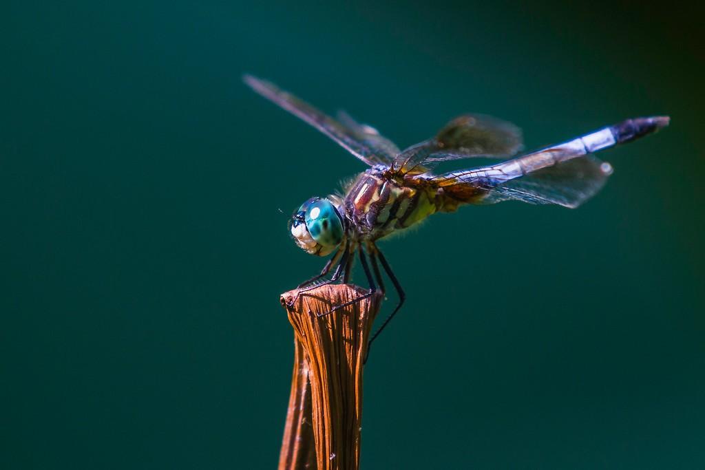 小蜻蜓,苗条轻盈_图1-2
