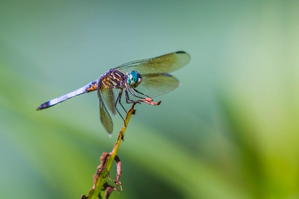 小蜻蜓,苗条轻盈_图1-6