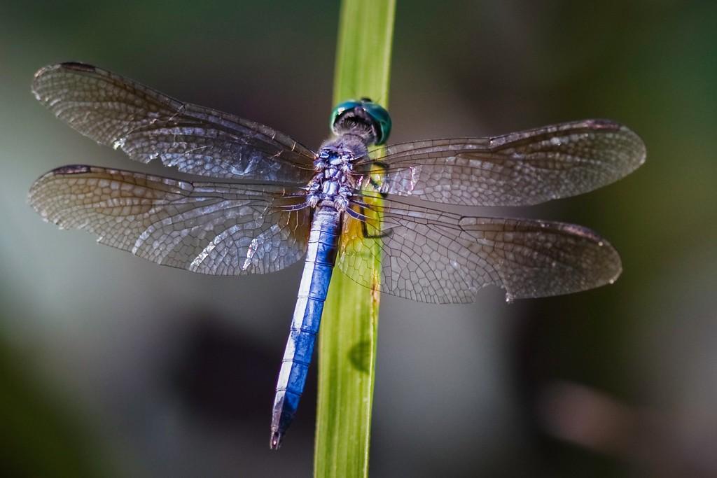 小蜻蜓,苗条轻盈_图1-8