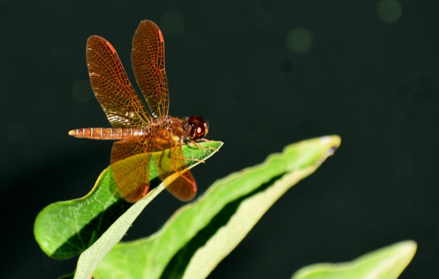 轻盈秀丽的蜻蜓_图1-2